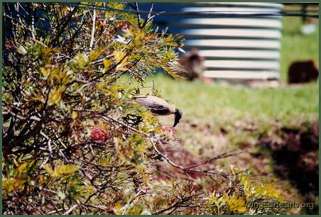 friarbird on grevillea bush