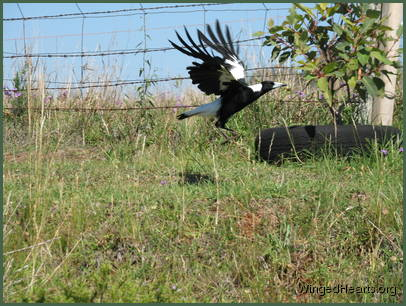 Maggie magpie flying