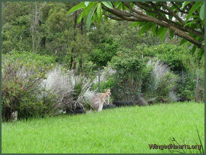 The wallabies are enjoying the rich pickings