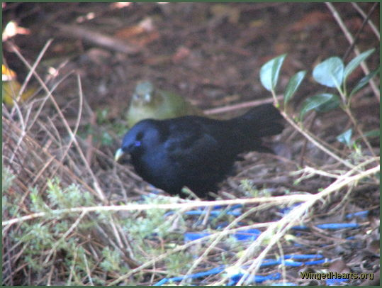 male satin bowerbird wooing female bowerbird